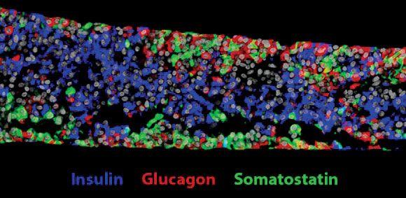 kapszulázott őssejtek