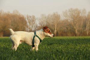 Cukorbeteg kutya