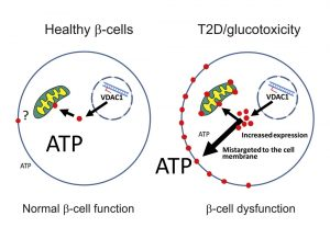 VDAC1 fehérje